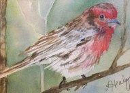 Alice Healy, House Finch, Watercolor